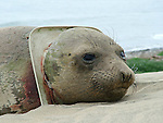 elephant seal yearling with toilet seat on neck at Ano Nuevo State Reserve