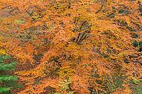 ORPTH_111 - USA, Oregon, Portland, Hoyt Arboretum, Autumn color of American beech trees (Fagus grandifolia).