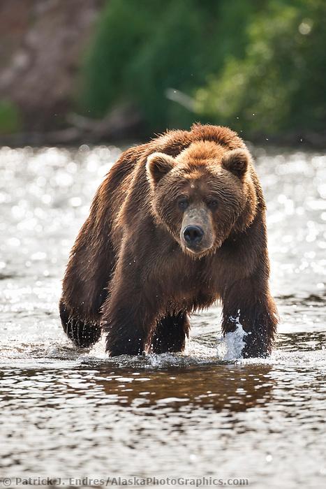 Brown bear, Brooks River, Katmai National Park, southwest, Alaska.