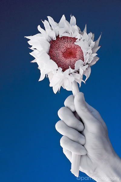 Hand holding sunflower.  Taken with infrared camera