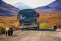 Grizzly bears and tour bus on the Denali Park road, Denali Natioanl Park, Alaska