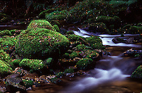 A small stream on the mossy temperate rainforest forest floor. Whirinaki national park (Ureweras) - New - Zealand.