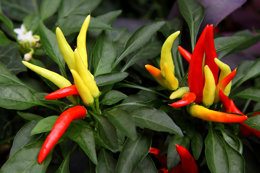 All peppers grow on 1 1/2 to 2-ft.-tall handsome, bushy plants. Their colors vary from purple to brown.