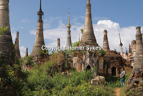 Woman grazing cattle. Indein temple village stupas. Lake Inle, Myanmar (Burma.) 2006