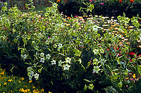 Nicotiana 'Lime Green' flowering tobacco, fragrant annual plant