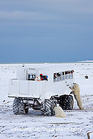 01874-11213 Polar bears (Ursus maritimus) near Tundra Buggy, Churchill, MB