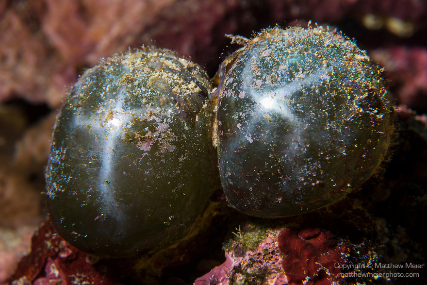 Florida Islands, Solomon Islands; a pair of bubble algae (Valonia ventricosa) or sailor's eyeballs growing on the coral reef, this is one of the largest single cell organisms