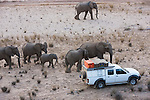 Namibia;  Namib Desert, Skeleton Coast,  desert elephants (Loxodonta africana) walking past tourist vehicle