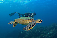 An endangered species, green sea turtles, Chelonia mydas, are a common sight around the Hawaiian Islands.  The diver is model released.  Maui, Hawaii.
