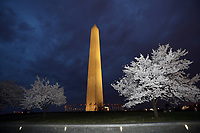 WASHINGTON DC - MARCH 20: Cherry Blossoms bloom with the Washington Monument in the background on March 20, 2020 in Washington DC. <br /> CAP/MPI34<br /> ©MPI34/Capital Pictures