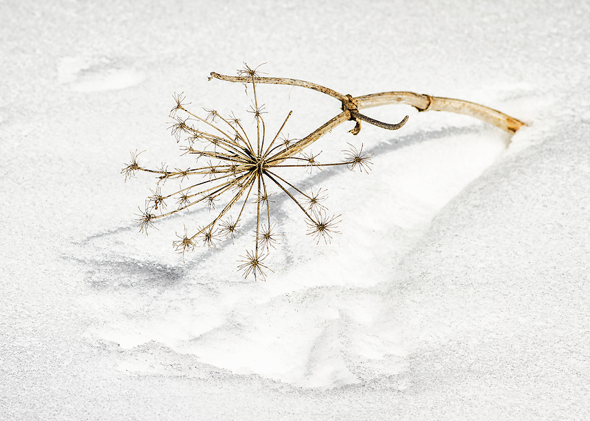Dried cow parsnip seedhead protruding from March snow.