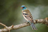 Lazuli Bunting, Passerina amoena, male, Uvalde County, Hill Country, Texas, USA, April 2006