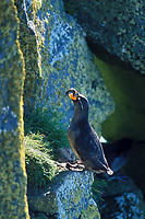 Crested auklet on a cliff on St. Paul Island, Pribilof Islands, Alaska.