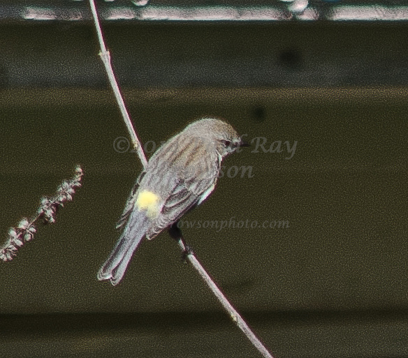 Yellow-rumped Myrtle Warbler
