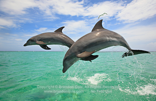 qk0144-D. Bottlenose Dolphins (Tursiops truncatus). Honduras, Caribbean Sea..Photo Copyright © Brandon Cole. All rights reserved worldwide.  www.brandoncole.com..This photo is NOT free. It is NOT in the public domain. This photo is a Copyrighted Work, registered with the US Copyright Office. .Rights to reproduction of photograph granted only upon payment in full of agreed upon licensing fee. Any use of this photo prior to such payment is an infringement of copyright and punishable by fines up to  $150,000 USD...Brandon Cole.MARINE PHOTOGRAPHY.http://www.brandoncole.com.email: brandoncole@msn.com.4917 N. Boeing Rd..Spokane Valley, WA  99206  USA.tel: 509-535-3489