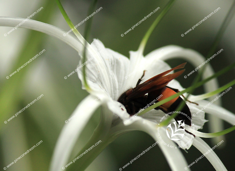 Honey bee sucking nectar from giant lily flower in Garden.