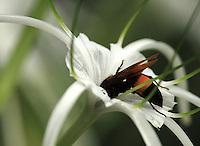 Honey bee sucking nectar from giant lily flower in Garden.