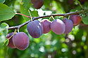 Plum 'Sanctus Hubertus', mid July. A dual-purpose, culinary-dessert plum raised by E. Swerts, Grimmerlingen, Belgium from a cross between 'Mater Dolorosa' x 'Rivers Early Prolific', and introduced by N. V. Frugorex in 1966. Large, oval, purple or blue fruit.