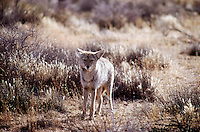 MAMMALS<br /> Coyote - Canis latrans<br /> Joshua Tree National Park<br />  Also known as American Jackal or Prarie Wolf