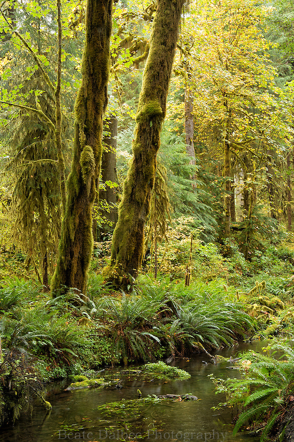 Trees in the Hoh Rainforest, Olympic Peninsula