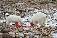 01874-12913 Two Polar bears (Ursus maritimus) eating Ringed Seal (Phoca hispida)  in winter, Churchill Wildlife Management Area, Churchill, MB Canada