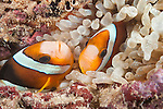 Kaimana, West Papua, Indonesia; Namatotte area, a pair of orange and white Clark's Anemonefish (Amphiprion clarkii) hiding in a tan colored anemone tucked into the coral reef at night