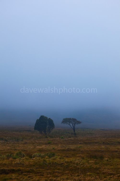Two trees in an autumn mist, on the Kerry Way, Torc Mountain, Kerry, Ireland