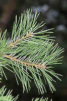 Northern Pitch Pine Pinus rigida. Similar to Monterey Pine P. radiata. (Height to 20m) Narrowly conical tree with stiff, tough needles in clusters of 3, and small cylindrical or rounded cones with thinner, but stiff (hence rigida) scales. Striking feature, unique to this species of pine, is sprouting foliage on the bole. Native to E coasts of N America, occasionally planted here.