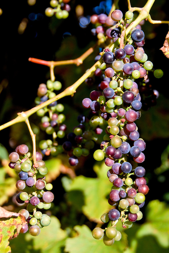 Grapes hang on a vine at a vineyard in Le Puy-en-Velay, France.