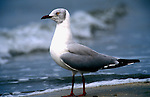 Grey Headed Gull, Lurus cirrocephalus, on beach, surf and waves, West Africa. .Gambia....