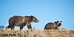 Grizzly bear sow and cub. Grand Teton National Park, Wyoming.