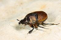 Mönchs-Kotkäfer, Mönchskotkäfer, Onthophagus coenobita, dung beetle, Blatthornkäfer, Scarabaeidae