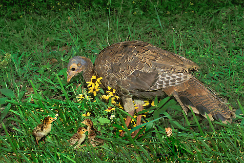 Mother wild turkey, Meleagris gallapavo, with newly hatched baby turkeys, poults, grass, yard, yellow flowers, Spring Midwest, black eyed susans, nestling, baby animal, baby bird, rudibeckia