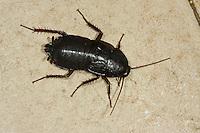 Gemeine Küchenschabe, Kakerlake, Bäckerschabe, Orientalische Schabe, Weibchen, Blatta orientalis, Common cockroach, Oriental cockroach, waterbug, female