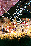 Stenopus hispidus, Banded coral shrimp, Dominica