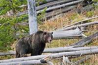 GRIZZLY BEAR (Ursus arctos).   Greater Yellowstone Area.  Fall.
