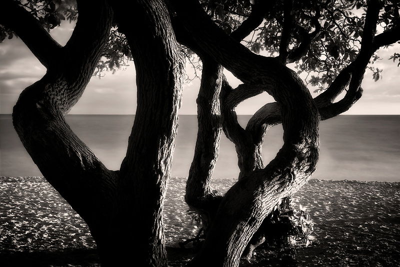 Twisted tree and  beach. Kalama Beach Park. Oahu, Hawaii