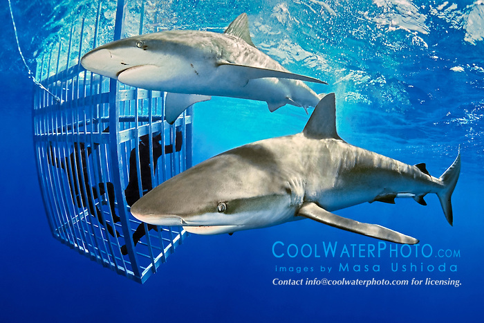 Galapagos Sharks, Carcharhinus galapagensis, and divers in protective shark cage, North Shore, Oahu, Hawaii, USA, Pacific Ocean