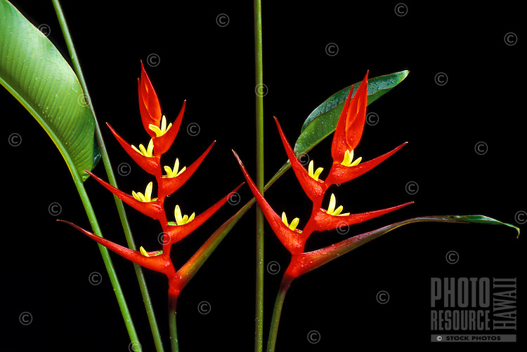 A pair of Heliconia cv. 'Arvum' or 'Bellogia' blossoms with leaves, set against a background of darkness