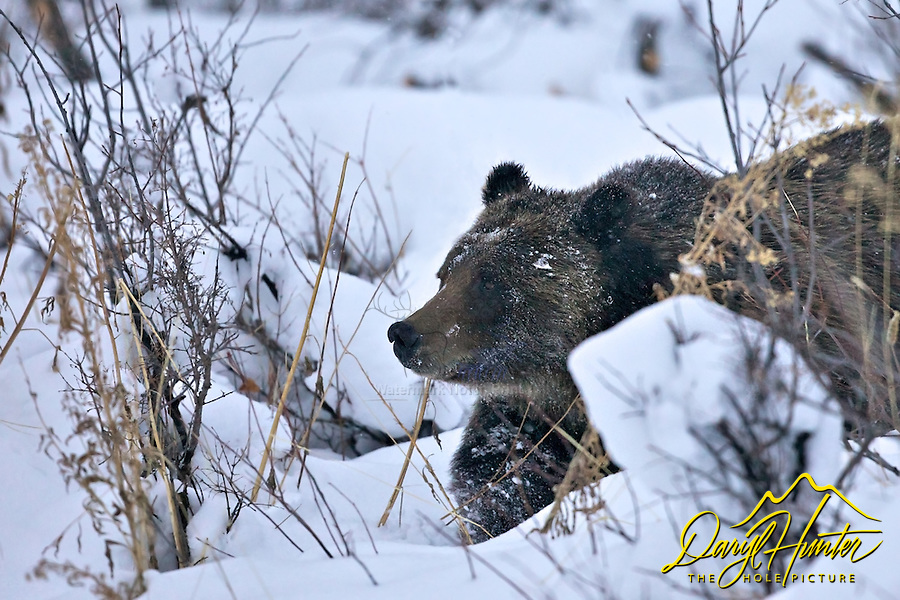 Grizzly Bear #399 in deep snow, Grand Teton National Park, Jackson Hole, Wyoming
