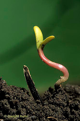 HS14-019b  Marigold - seedling germination showing seed coat, stem, dicots (series: see HS14-017z,019b