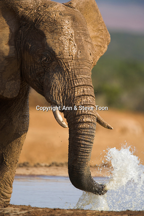 Elephant, Loxodonta africana, blowing out water, Addo Elephant National park, Eastern Cape, South Africa
