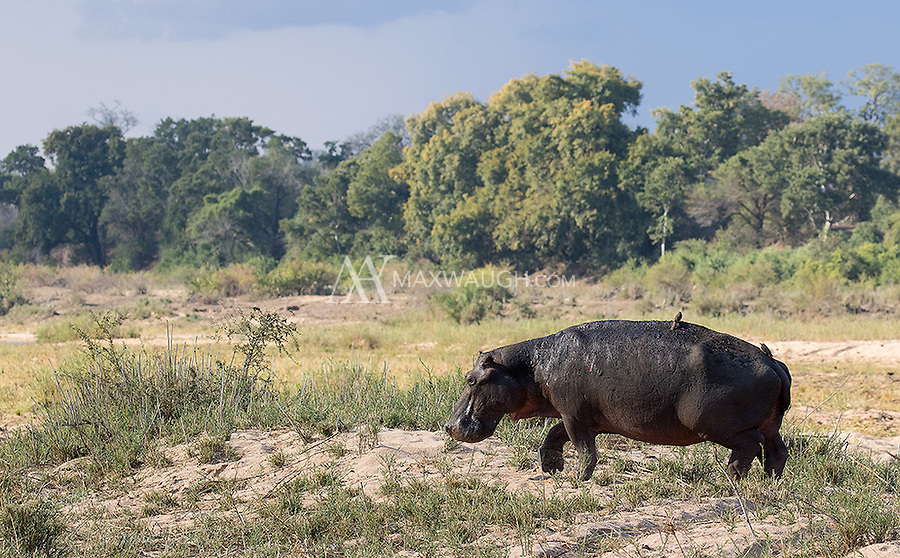 It was a tough time for hippos in the Greater Kruger region.  Many had to venture further from the water to graze due to the severe drought that had struck the region.