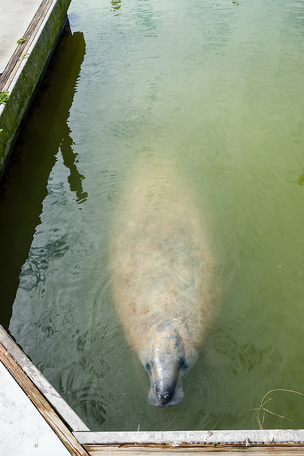 US, Florida, Everglades. Manatee in Flamingo marina.