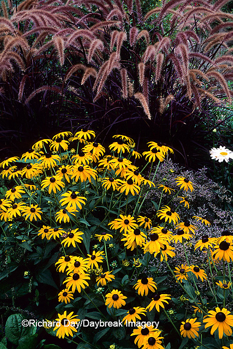 63821-03319 Black-eyed Susans & Purple Fountain grass    IL