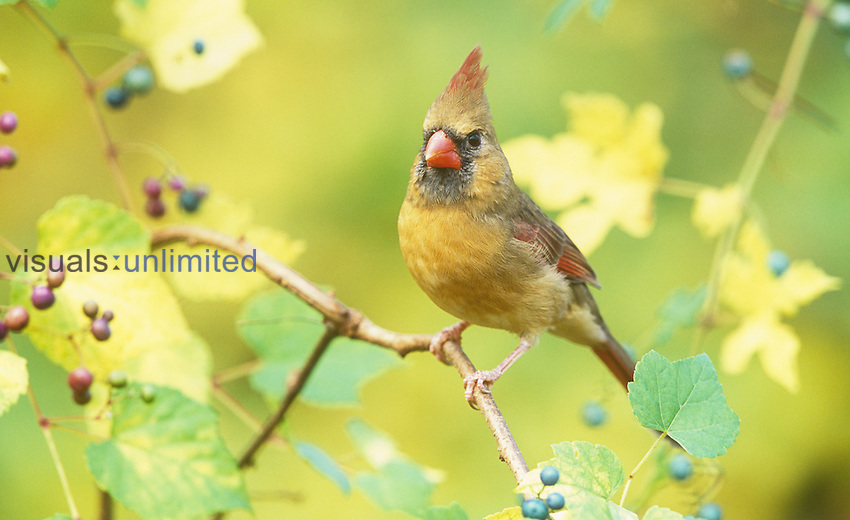 Female Northern Cardinal (Cardinalis cardinalis) in  Grapes (Vitis), North America.