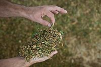 Inhauma_MG, Brasil...Gestao no campo na Fazenda Sao Joao. A fazenda e a terceira maior produtora de leite do Brasil, com 15 milhoes de litros por ano. A primeira em MG. Tem 1.170 hecatres, e capacidade de armazenagem para 22 mil toneladas de alimentos para o gado em Inhauma, Minas Gerais. Na foto, alimentacao dada ao gado chamada pelos funcionarios da fazenda de volumoso, uma mistura de capim, folhagem de milho e racao de graos...Field management in the iSao Joao Farm. The farm and the third largest producer of milk in Brazil, with 15 million gallons per year. The first in MG. 1170 has hecatres, and storage capacity to 22 million tons of food for cattle in Inhauma, Minas Gerais. In the photo, food given to cattle call by the officials of the farm forage, a mixture of grass, leaves and grains  ration...Foto: JOAO MARCOS ROSA / NITRO..