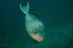 Yellowmargin triggerfish (Pseudobalistes flavimarginatus) hunting