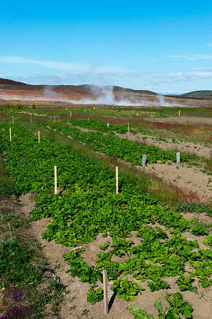A potato field in the Krafla geothermal field at Lake Myvatn in Northeast Iceland.