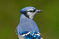 Blue Jay (Cyanocitta cristata).